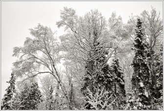 trees-with-snow