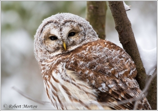 barred-owl-1