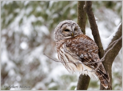 barred-owl-11