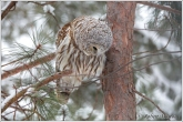 barred-owl-4