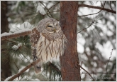 barred-owl-5