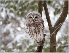 barred-owl-6