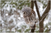 barred-owl-7