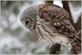 barred-owl-8