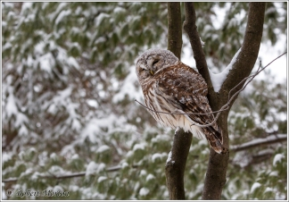 barred-owl-9