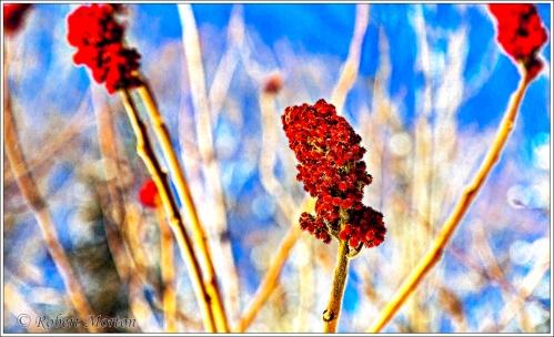 sumac-flowers-2