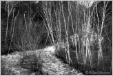 Duchesnay Birches BW