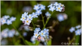 Forget Me Not 3