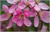 Pink Crab Blossoms 2