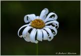 Curly Daisy