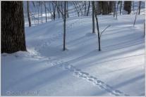 Animal Tracks 3