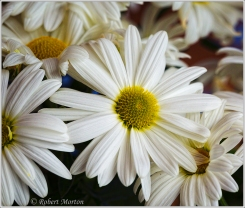 Easter Daisies