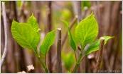 Hydrangea Leaves